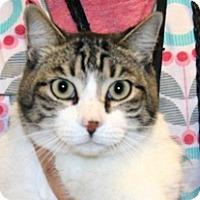 Domestic Shorthair Cat for adoption in Wildomar, California - Mister