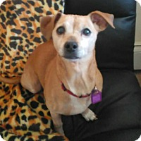 Chihuahua/Dachshund Mix Dog for adoption in Mastic Beach, New York - DAISY !!