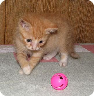 Domestic Shorthair Kitten for adoption in Spring Grove, Pennsylvania - Nicolay (baby boy)