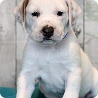 Adopt A Pet :: Pumpkin - Waldorf, MD