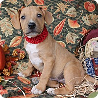 Labrador Retriever Mix Puppy for adoption in East Dover, Vermont - Ziggy - PENDING