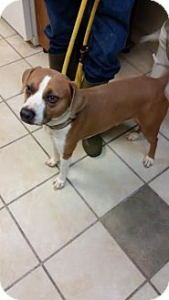Pointer Mix Dog for adoption in Chippewa Falls, Wisconsin - Marley(LoneStar)