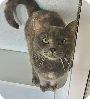 Domestic Shorthair Cat for adoption in Greensburg, Pennsylvania - Tanga