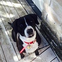 Adopt A Pet :: SophieW - Olympia, WA