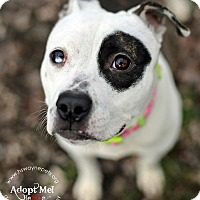 """American Pit Bull Terrier Mix Dog for adoption in Lyons, New York - Petunia (""""Petey"""")"""