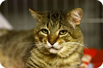 Domestic Shorthair Cat for adoption in Lombard, Illinois - Tom Park