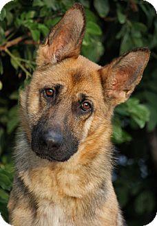 German Shepherd Dog Dog for adoption in Los Angeles, California - Katie von Knoxville