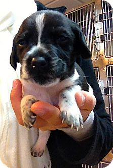 Pointer/Border Collie Mix Puppy for adoption in Seneca, South Carolina - Pepper $200