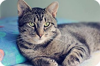 Domestic Shorthair Cat for adoption in Markham, Ontario - Tickles