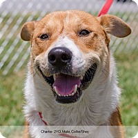 Adopt A Pet :: Charlie - Bristol, TN