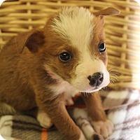 Adopt A Pet :: Tilly - Waldorf, MD