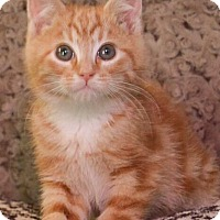 Adopt A Pet :: Biscotti - Reston, VA
