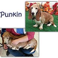 Adopt A Pet :: Punkin - Marietta, GA