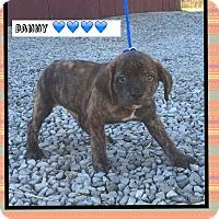 Adopt A Pet :: Danny (Pom) - Harrisonburg, VA