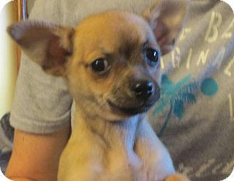 Pomeranian/Chihuahua Mix Puppy for adoption in Greenville, Rhode Island - Flynn