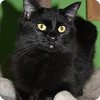 Domestic Mediumhair Cat for adoption in Marietta, Georgia - Bullet