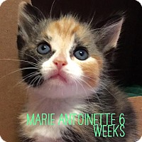 Adopt A Pet :: Marie Antionette - Island Park, NY