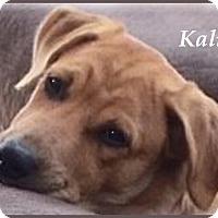 Adopt A Pet :: Kali- Super Sweet - Marlborough, MA