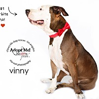 Adopt A Pet :: Vinny - Los Angeles, CA
