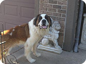 St. Bernard Dog for adoption in Westminster, Maryland - Stanley