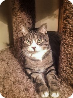 Domestic Shorthair Cat for adoption in Roseville, Minnesota - Annie (self-assured & sweet)