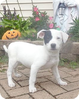 Setter (Unknown Type) Mix Puppy for adoption in West Chicago, Illinois - Spritzee