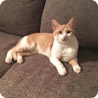 Domestic Shorthair Cat for adoption in Marietta, Georgia - Eevee