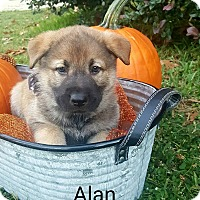 Adopt A Pet :: Alan - Gainesville, FL