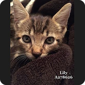 Domestic Mediumhair Kitten for adoption in Conroe, Texas - LILY