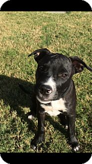 Bulldog/Boxer Mix Puppy for adoption in PARSIPPANY, New Jersey - CAMPBELL