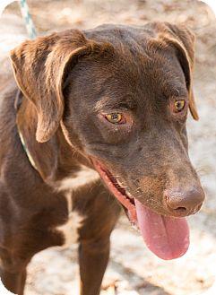 Labrador Retriever/Pointer Mix Dog for adoption in Daleville, Alabama - CC