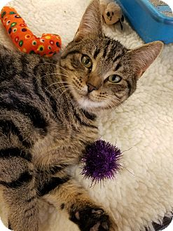 Domestic Shorthair Cat for adoption in McCormick, South Carolina - Tinker