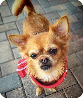 Pekingese/Chihuahua Mix Dog for adoption in Fort Lauderdale, Florida - Cyrus