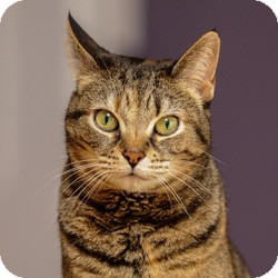 Domestic Shorthair Cat for adoption in Arlington, Virginia - Ruby Tuesday