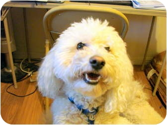 Bichon Frise Dog for adoption in Chandler, Arizona - Mr. Whipple