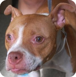Boston Terrier/Pit Bull Terrier Mix Dog for adoption in Brooklyn, New York - Candy