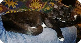 Domestic Mediumhair Kitten for adoption in Scottsdale, Arizona - Jane- courtesy post