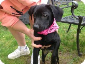 Labrador Retriever Mix Puppy for adoption in Marlton, New Jersey - Baby Bella