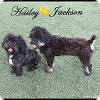 Adopt A Pet :: Hailey - Rockwall, TX