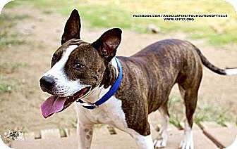 Bull Terrier/American Staffordshire Terrier Mix Dog for adoption in Irving, Texas - DUNN