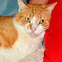 Domestic Shorthair Cat for adoption in Sebastian, Florida - Reesie