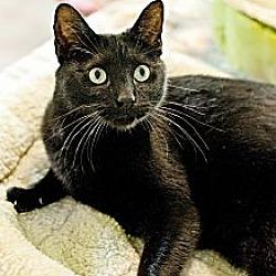Photo 4 - Domestic Shorthair Cat for adoption in Carencro, Louisiana - Jack Black