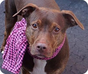 American Pit Bull Terrier/Manchester Terrier Mix Dog for adoption in Staten Island, New York - Raina