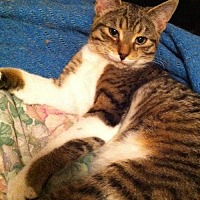 Domestic Shorthair Cat for adoption in Montreal, Quebec - Jill