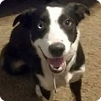 Border Collie Mix Dog for adoption in San Angelo, Texas - Kylie