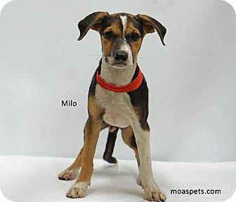 Beagle/Foxhound Mix Dog for adoption in Waterbury, Connecticut - Milo