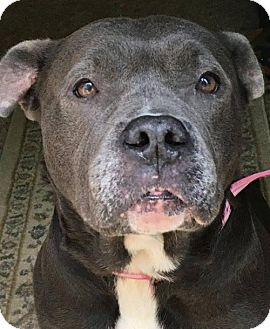 Pit Bull Terrier Dog for adoption in Kansas City, Missouri - Beeja