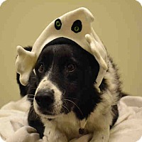 Border Collie Mix Dog for adoption in Overland Park, Kansas - A037054 Rayna