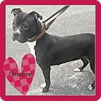 American Pit Bull Terrier Dog for adoption in Des Moines, Iowa - Penelope