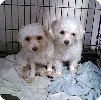 Maltese/Poodle (Miniature) Mix Dog for adoption in Daleville, Alabama - Tennille